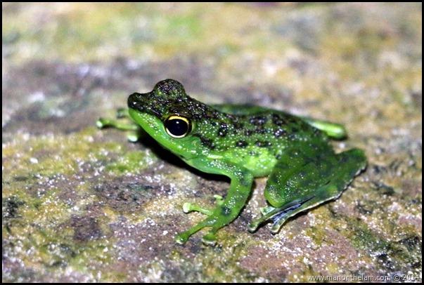 International Bornean Frog Race, Kubah National Park, Matang, Sarawak, Borneo, Malaysia