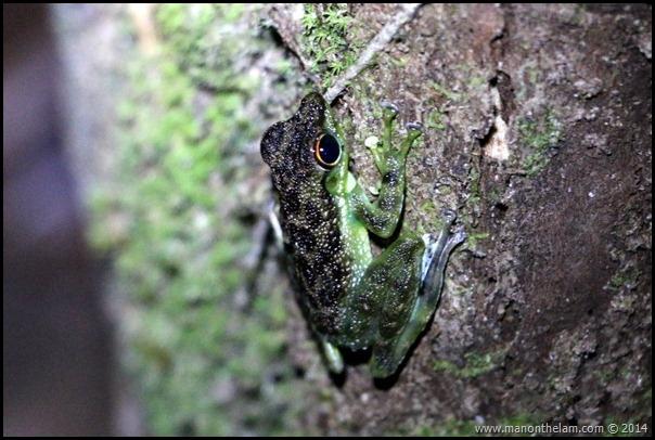 International Bornean Frog Race, Kumpah, Sarawak, Borneo, Malaysia-288