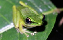 Not Your Average Day at the Races -- The International Bornean Frog Race