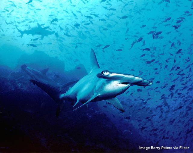 Hammerhead shark from Cocos Island Costa Rica