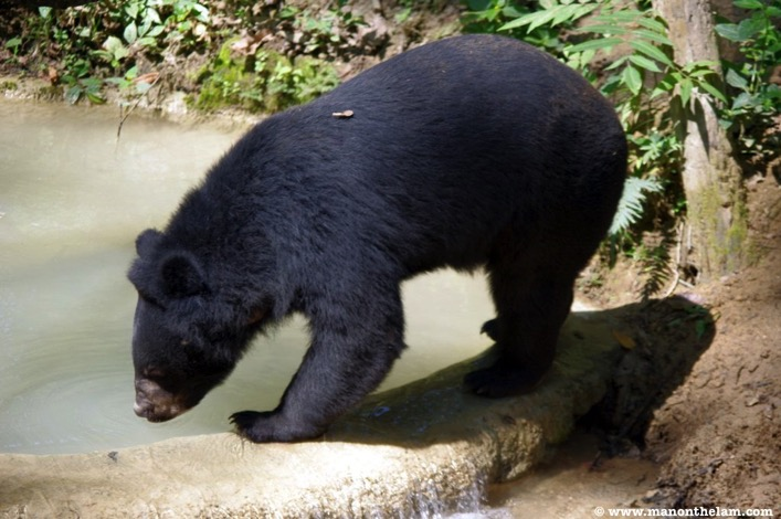 Free the Bears Laos Rescue Centre moon bear playing