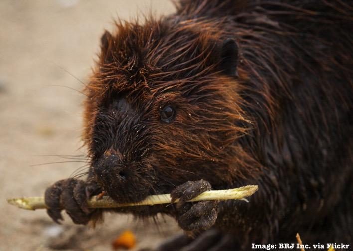 Beaver having a snack