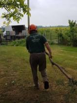 Taking down x6 leylandii tree tillingham marshes 3