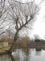 Pollarding a willow over a massive pond 3