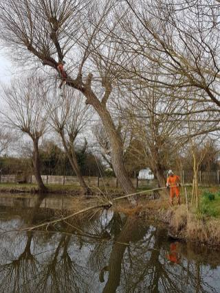 Pollarding a willow over a massive pond 5