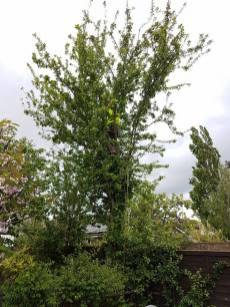 Reducing a mixed species of tree( Lillian Road Burnham)5