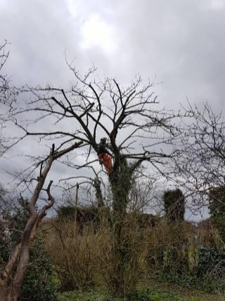 Reducing & thinning a cherry tree Danbury 11
