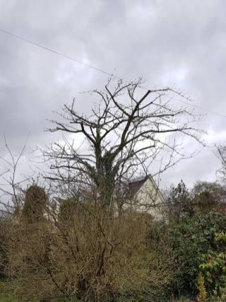Reducing & thinning a cherry tree Danbury 12