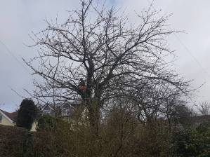 Reducing & thinning a cherry tree Danbury 5