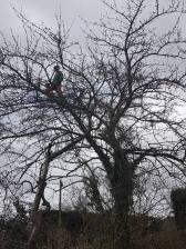 Reducing & thinning a cherry tree Danbury 6