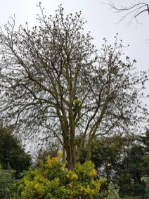 Reducing & thinning a horse chestnut2