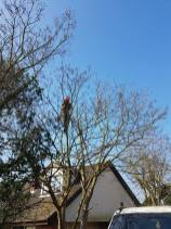 Reducing & thinning a horse chestnut4