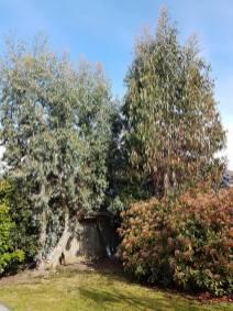 take down eucalyptus1