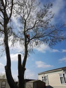 Take down poplar tree Steeple Bay caravan park11