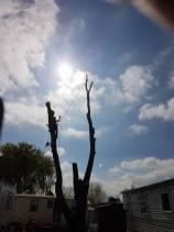 Take down poplar tree Steeple Bay caravan park14