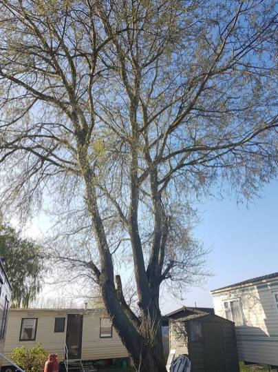 Take down poplar tree Steeple Bay caravan park1