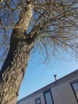 Take down poplar tree Steeple Bay caravan park2
