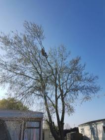 Take down poplar tree Steeple Bay caravan park7