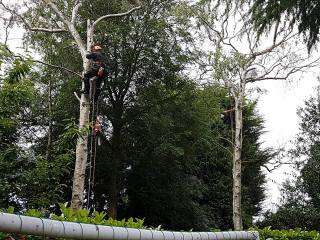 Danbury X 2 take down leylandii trees in the corner 14