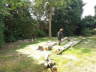 Danbury X 2 take down leylandii trees in the corner 15