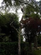 Danbury X 2 take down leylandii trees in the corner 16