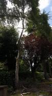 Danbury X 2 take down leylandii trees in the corner 19