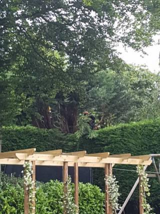 Danbury X 2 take down leylandii trees in the corner 2