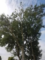 Pollarding x 1 Poplar & one weeping Willow Steeple Bay Caravan Park 6