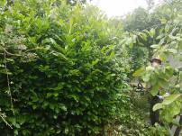 Reducing Poplar Tree 14