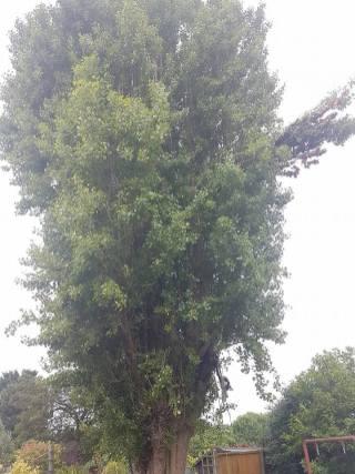 Reducing Poplar Tree 2