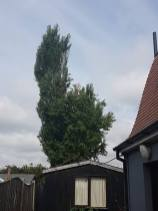 Reducing Poplar Tree 9