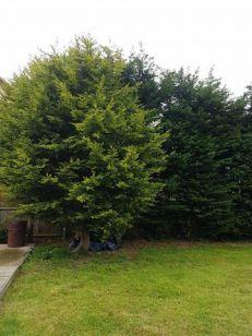 Reducing in height leylandii trees - Tillingham 1