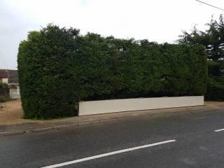 Reducing in height leylandii trees & facing them back TillinghamHigh Street (before) 8