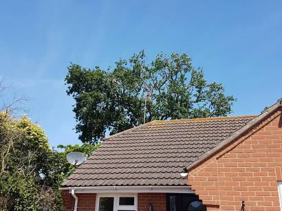 Reducing oak tree Burnham on Crouch with a (tpo) x2 metres reduced 5% thin all correct procedures have been taken - before 12