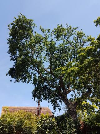 Reducing oak tree Burnham on Crouch with a (tpo) x2 metres reduced 5% thin all correct procedures have been taken - before 13