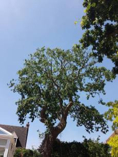 Reducing oak tree Burnham on Crouch with a (tpo) x2 metres reduced 5% thin all correct procedures have been taken - before 16
