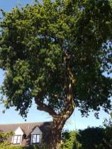 Reducing oak tree Burnham on Crouch with a (tpo) x2 metres reduced 5% thin all correct procedures have been taken - before 3