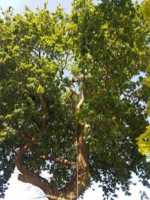 Reducing oak tree Burnham on Crouch with a (tpo) x2 metres reduced 5% thin all correct procedures have been taken - before 5
