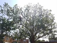 Reducing & thinning oak tree Casey Lane Tillingham with a tpo all correct procedures have been taken 13