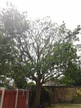 Reducing & thinning oak tree Casey Lane Tillingham with a tpo all correct procedures have been taken 8