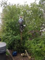 Taking down x1 ash tree with ash dieback lower Burnham Road over a hot tub 5
