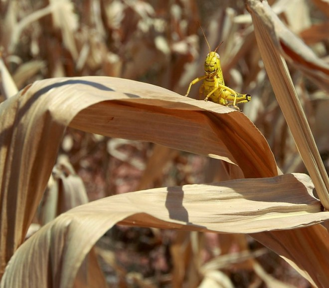 Viruses Spread by Insects to Crops Sound Scary. The Military Calls It Food Security.