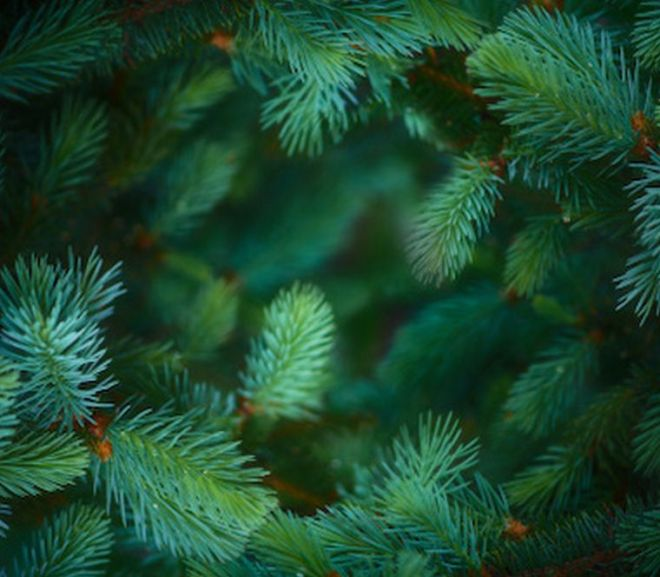 Researchers Look at Paint from Pine Needles