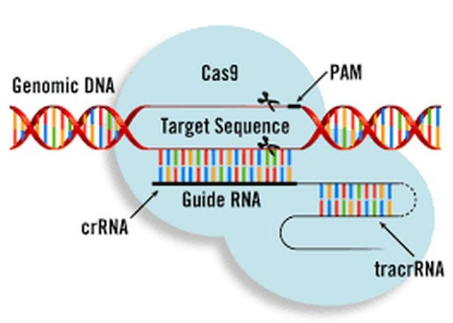 What are genome editing and CRISPR-Cas9?