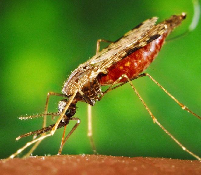 Oral Ingestion of Cannabis sativa: Risks, Benefits, and Effects on Malaria-Infected Hosts
