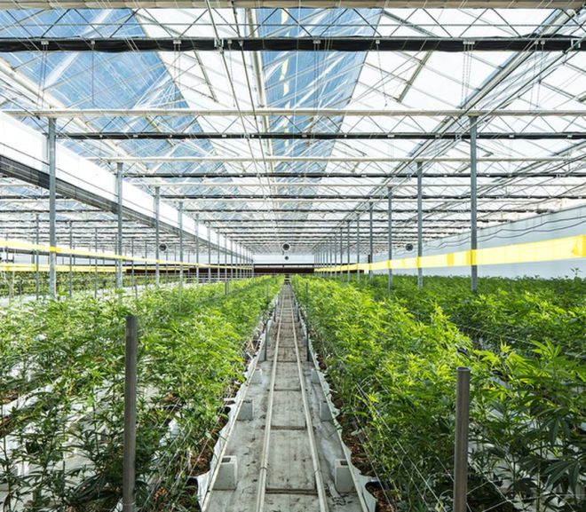 Cannabis: Comparing Cultivation Methods