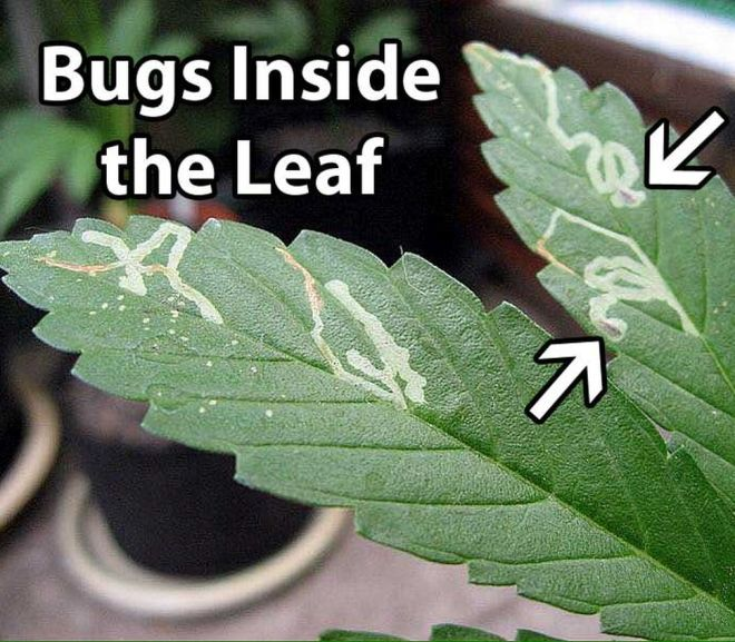 Cannabis: Low-Tech Pest Management Solutions