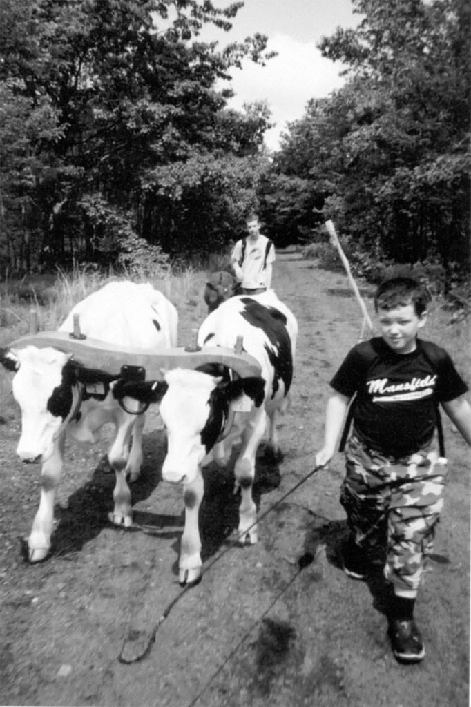Stearns Oxen Walk