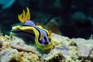 Nudibranch at Padang Bai