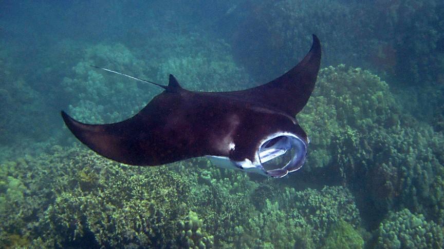 Manta ray encounter